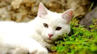 Ангорская порода кошек.Гордость Востока.Восточная красавица