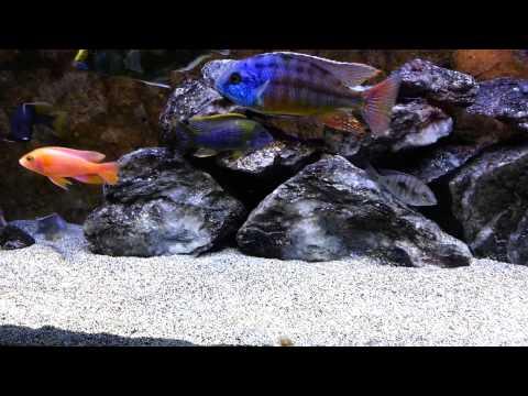 All Male African Cichlid Malawi  Show tank