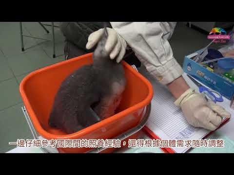 搶救黑腳企鵝三部曲 保育員首扮親鳥育雛
