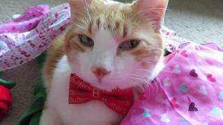 Super Cute Purring And Meowing Cat