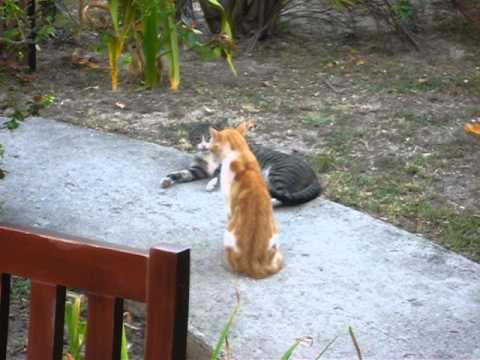 Two Feral Cats In Heat In Love Or About To Fight