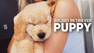 Golden Retriever Puppy Compilation