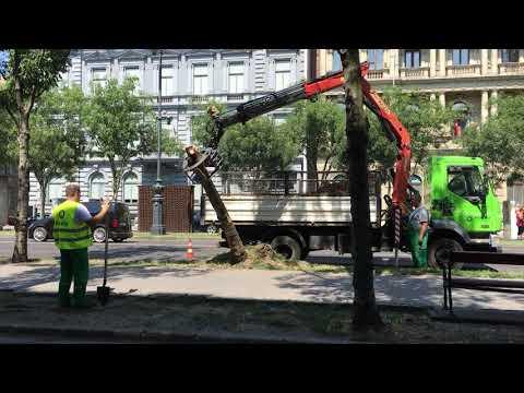 Így tépték ki gyökerestül az Andrássy úti fákat (videóval)