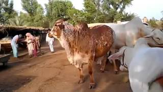 big bull running & playing - rahman cattle farm (2012) - pakistan