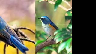 青い鳥 【合唱】