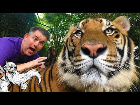 """""""PETTING TIGERS AT TIGER KINGDOM!!!"""" - Hermit Around The World Travel Vlog - Chiang Mai, Thailand"""