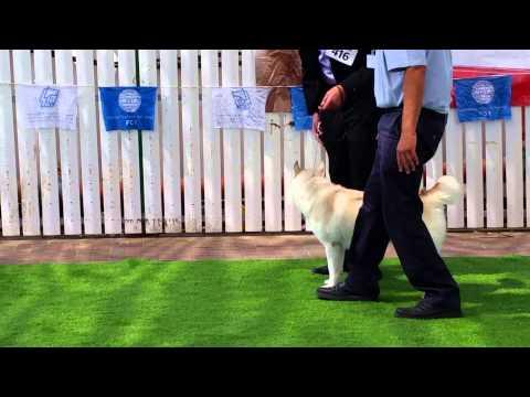 Siberian husky dog show