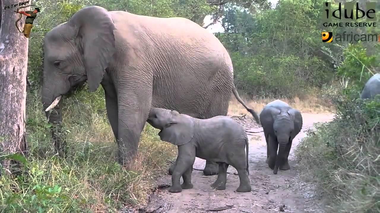 Fotos de elefantes bebes top elefantes bebes divertido - Fotos de elefantes bebes ...