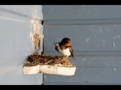 Barn Swallow Nest Building Project Youtube