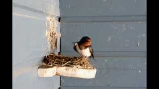 Barn Swallow nest building project