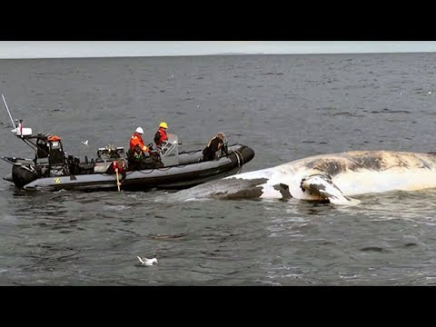 6 endangered whales found dead in Atlantic Canada