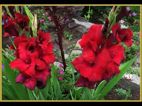 Как сохранить луковицы гладиолусов до весны.Gladiolus.