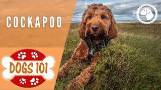 Dogs 101 - COCKAPOO - Top Dog Facts about the COCKAPOO | DOG BREEDS 🐶 Brooklyn's Corner