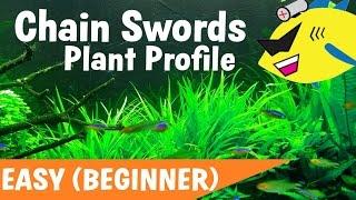 CHAIN SWORDS!!! (Carpet Plant) Broad Leaf / Pygmy Chain Sword Aquarium Plant Care
