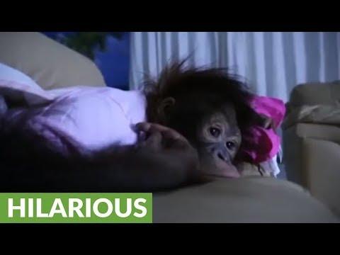 Baby orangutan loves watching late night movies