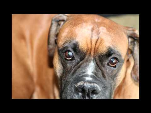 dog eye ulcer-indolent ulcer–CURED-Jr's story
