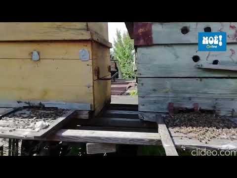 Массовая гибель пчёл в Воронежской области