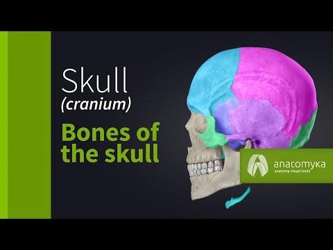 Skull (cranium) - Overview of the bones of the skull (3D animation)