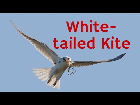 White-tailed Kite: Hovering Above Its Prey