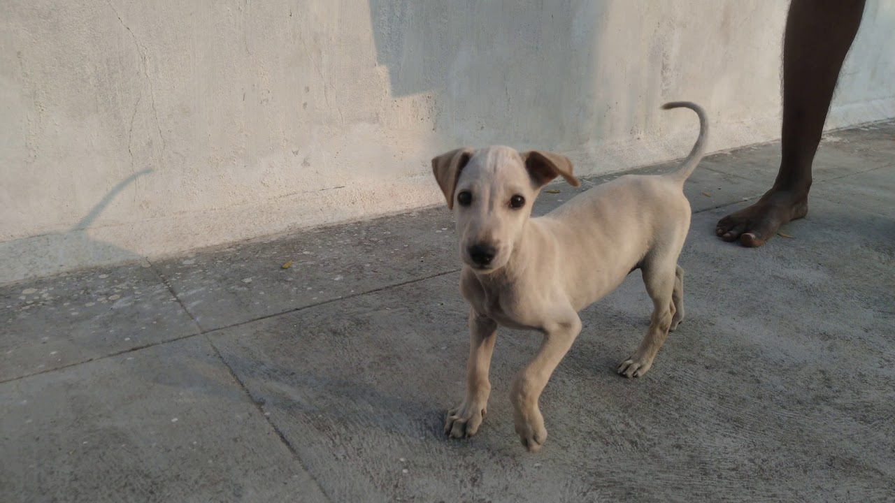 Chippiparai dog puppy playing