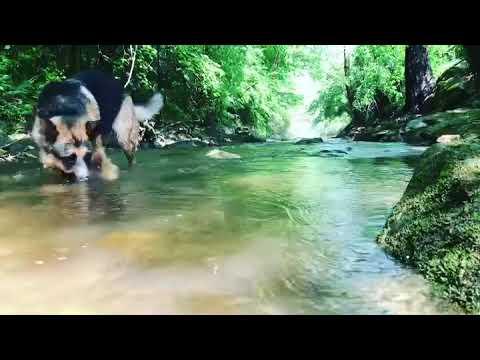 German Shepherd Exploring the Creek