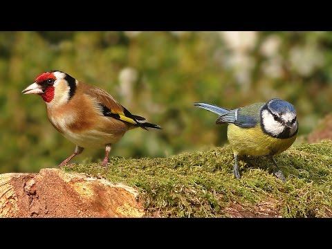 Videos for Cats to Watch - Spring Garden Birds