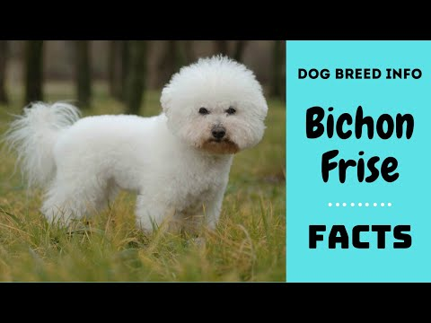 Bichon frise dog breed. All breed characteristics and facts about Bichon Frise dogs