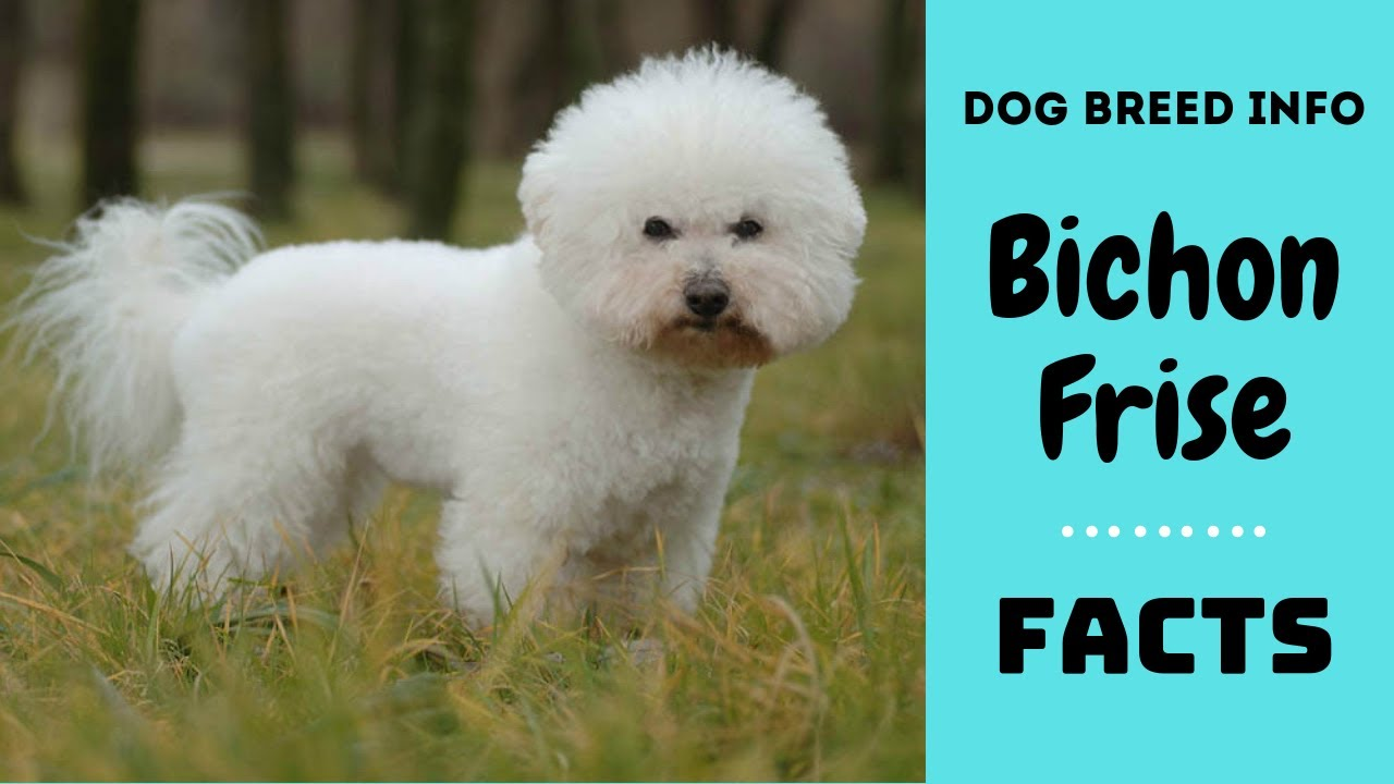 Bichon frise dog breed  All breed characteristics and facts about Bichon  Frise dogs