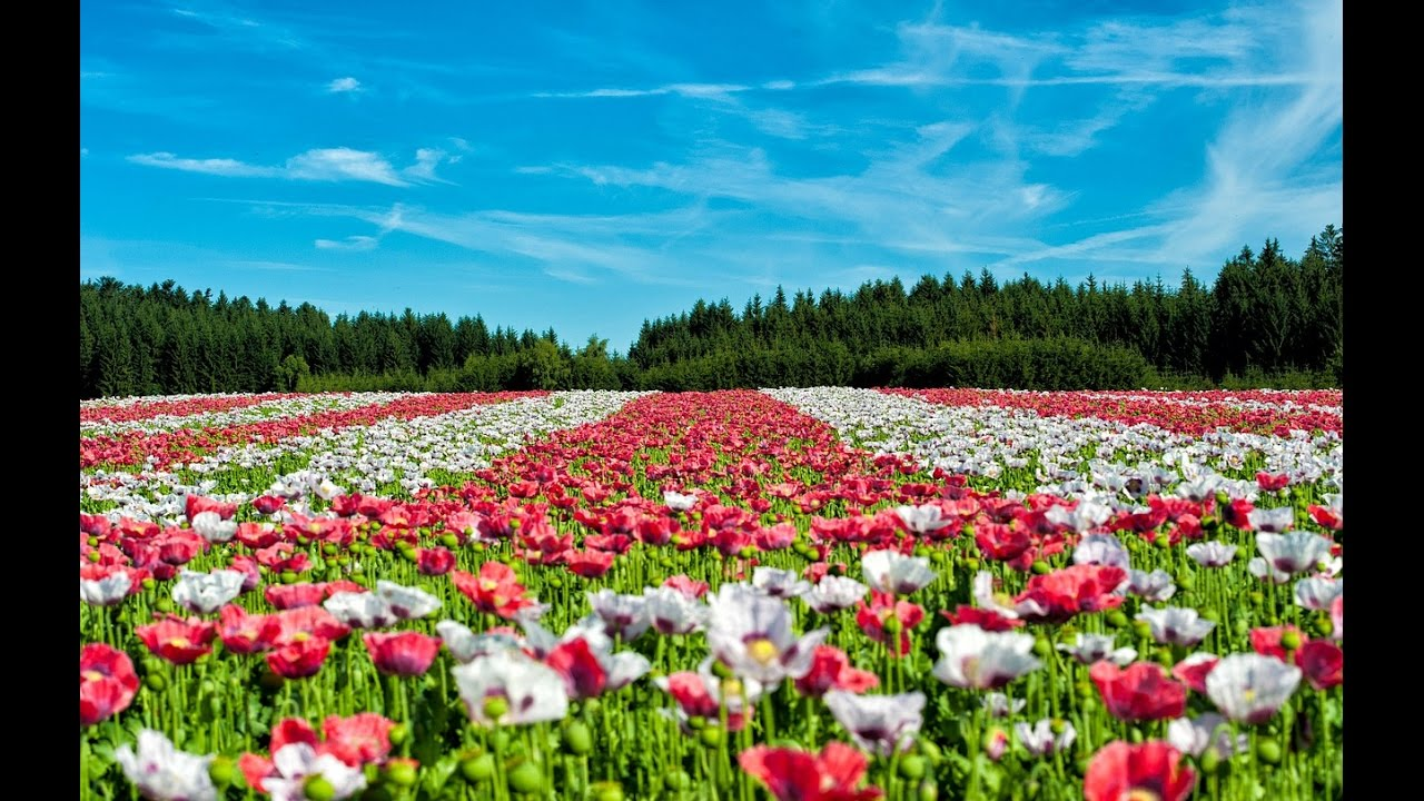 Amazing And Most Beautiful Poppy Flower Fields Landscape Youtube