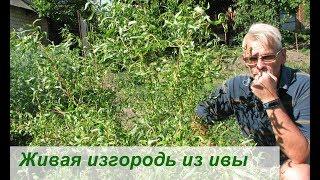 видео Делаем живую изгородь