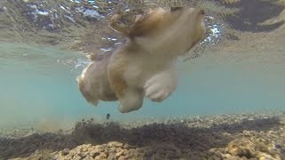 Roku Swim / ロクさんのいぬかき特訓 20150805 Welsh Corgi Puppy 子犬 Dog Paddle コーギー