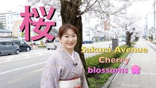 Explore Sakura Cherry blossoms season with me as I walk along the S...