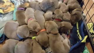 Video Jagerberg Kennels Silver Labrador Retriever Puppies,  Puppy Pile download MP3, 3GP, MP4, WEBM, AVI, FLV Juni 2018
