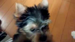 子犬ヨークシャーテリア2ヶ月、7日目 日に日に我が家と先住犬になじん...
