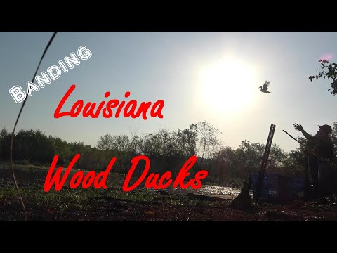 Banding Louisiana Wood Ducks (Full Video)