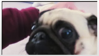 Welcome Home, Pugs!!