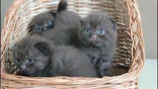 Шоколадные вислоухие и прямоухие котята