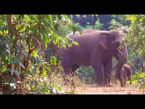 Wild Elephant in Korba - Chhattisgarh