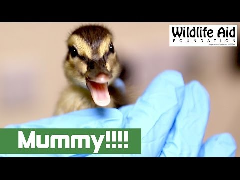Lost Duckling Finds Its Mum!!!!!