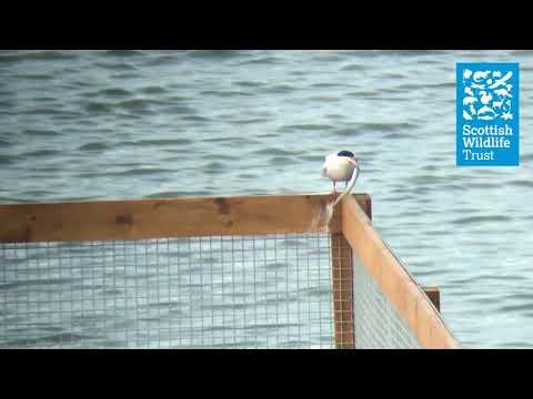 Prospecting common tern