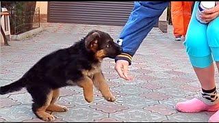 Её первый Враг. Щенок немецкой овчарки 1 мес. и 20 дней. Her first enemy. German Shepherd Puppy.