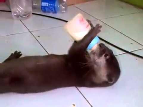 otter kecil lucu lagi nyusu