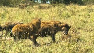 非洲3D: 动物王国 IMAX - 2013年3月1日