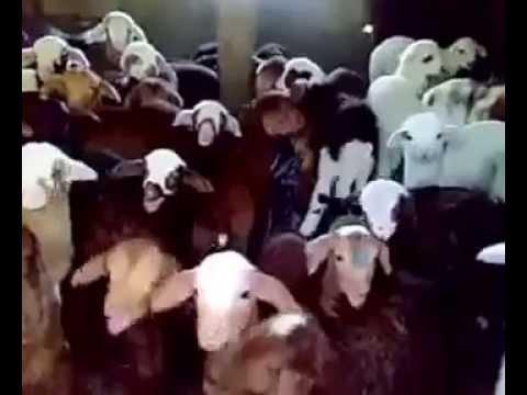 Baby goats choir
