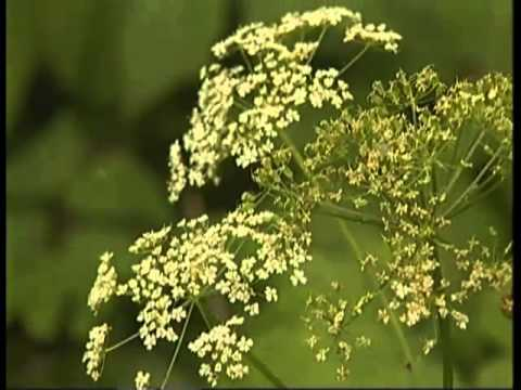 Трава сныть – описание, состав, полезные свойства и