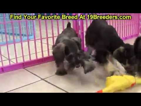 Schnoodle, Puppies, Dogs, For Sale, In Atlanta, Georgia, GA, Savannah, Sandy Springs, Roswell