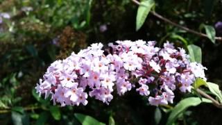 Buddleia Davidii - butterfly bush - Buddleja davidii HD 01