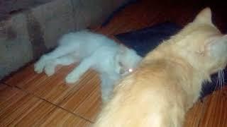 Download Video Kucing kawin sperma muncrat MP3 3GP MP4