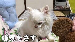 パペット人形で遊んでたら急に嫌気が差した犬-A dog suddenly disgusted when playing with a puppet doll