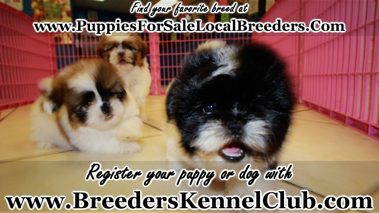 Shih Tzu Puppies For Sale In Ga Local Breeders Youtube